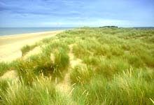 Marram grass in the dunes at NWT Holme Dunes