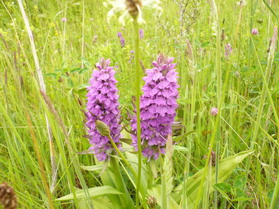 Pyramidal orchid Photo - Sally and Martin Crown