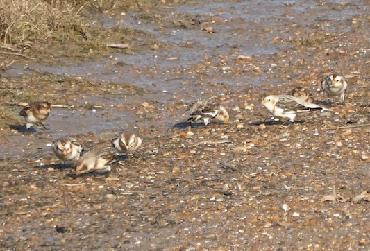 Snow Buntings on the beach at Holme-next-the-Sea - January 27th, 2015. Photo - Tony Foster